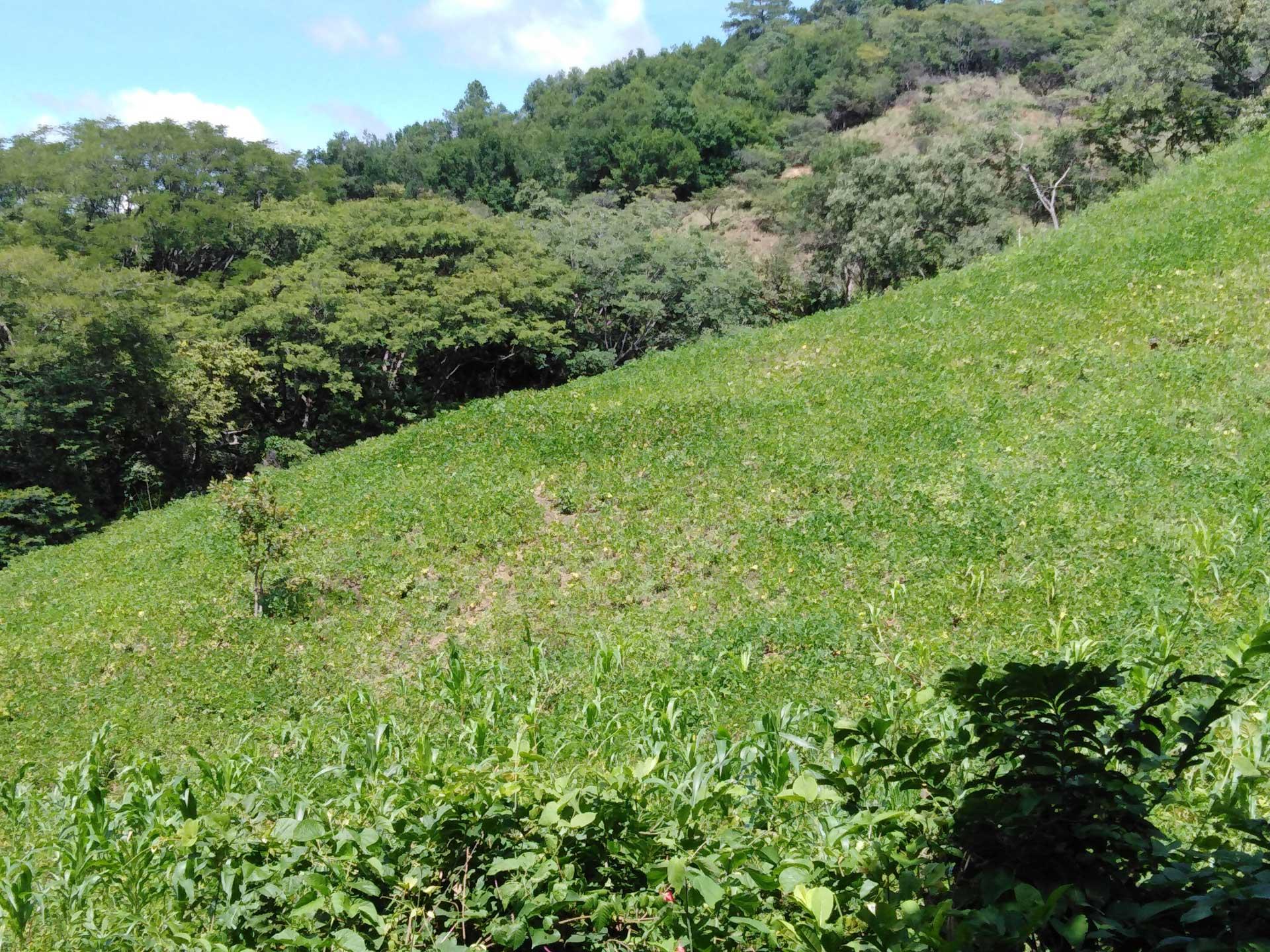 El frijol es uno de los principales cultivos en el municipio de San Nicolás.