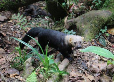 Captan en cámaras trampa asombrosa fauna en selvas del río Grande