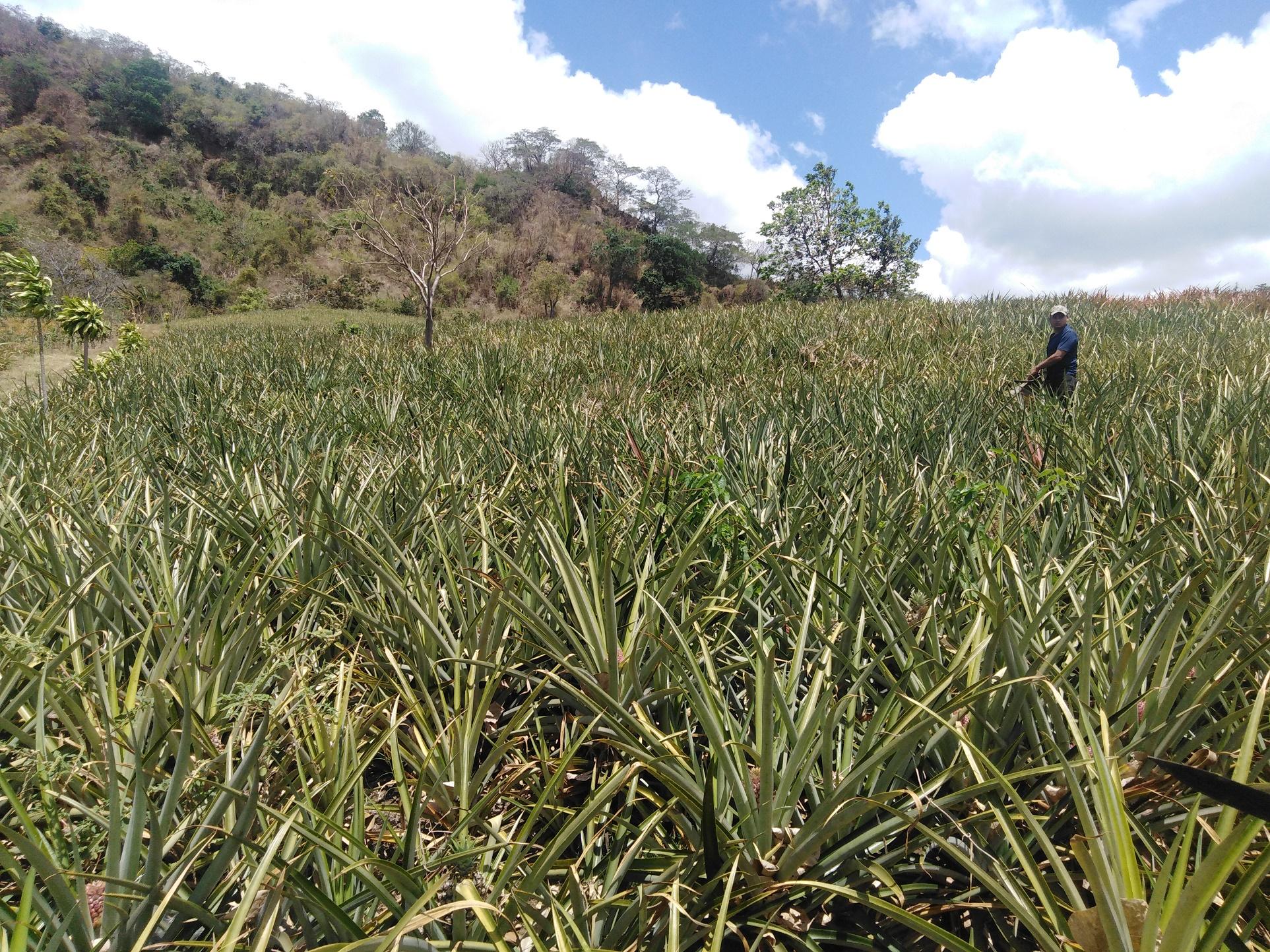 Plantaciones de piña en el área de amortiguamiento de la reserva Chocoyero El Brujo.