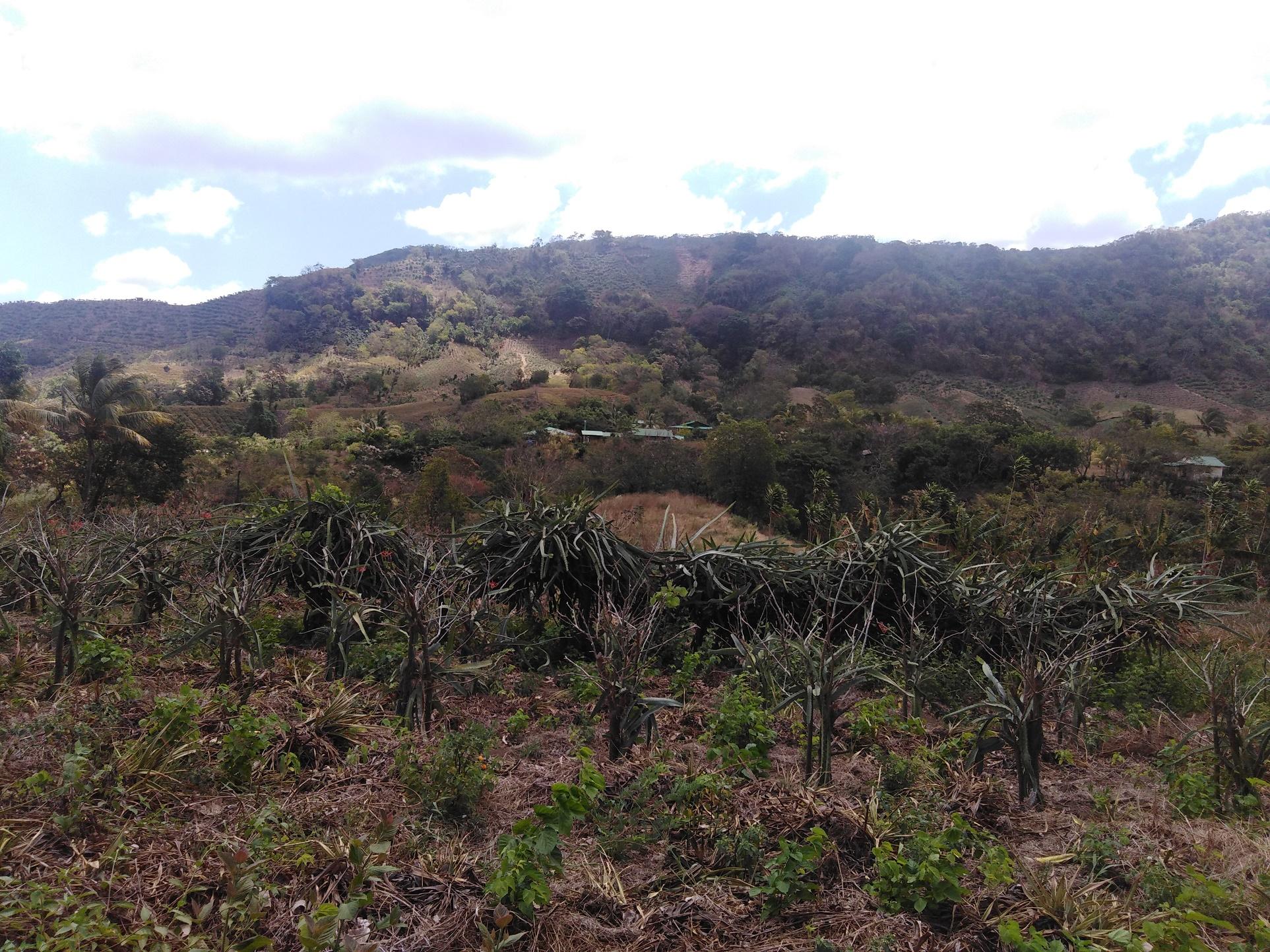 La piña y la pitahaya van desplazando los bosques. Esta imagen se ve claramente como la cobertura boscosa retrocede. Foto de Mauricio González.