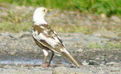 Adolescente encuentra un ave con una extraña mutación llamada leucismo