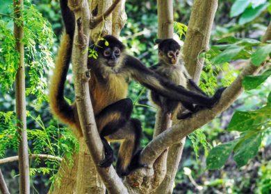 La extinción del mono araña en Ometepe, la primera documentada en Nicaragua