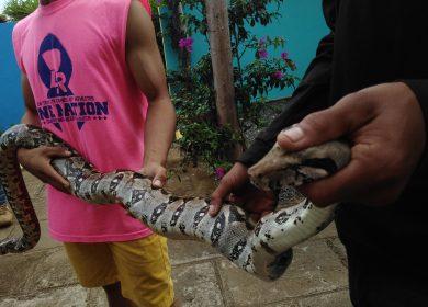 Solo el 2% de las serpientes conocidas en Nicaragua son venenosas pero a todas se les mata