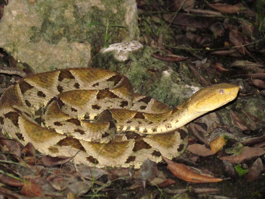 Barba amarilla (Bothrops asper).Foto de INaturalist