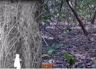 Avistan a tigrillo y un yaguarundi en Managua