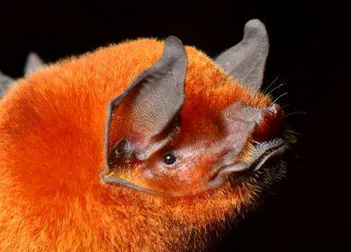 Confirman nueva especie de murciélago para Nicaragua